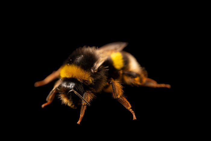 Photo: An unidentified bumblebee (Bombus sp.) at Graham's Quinta dos Malvedos Vineyard.