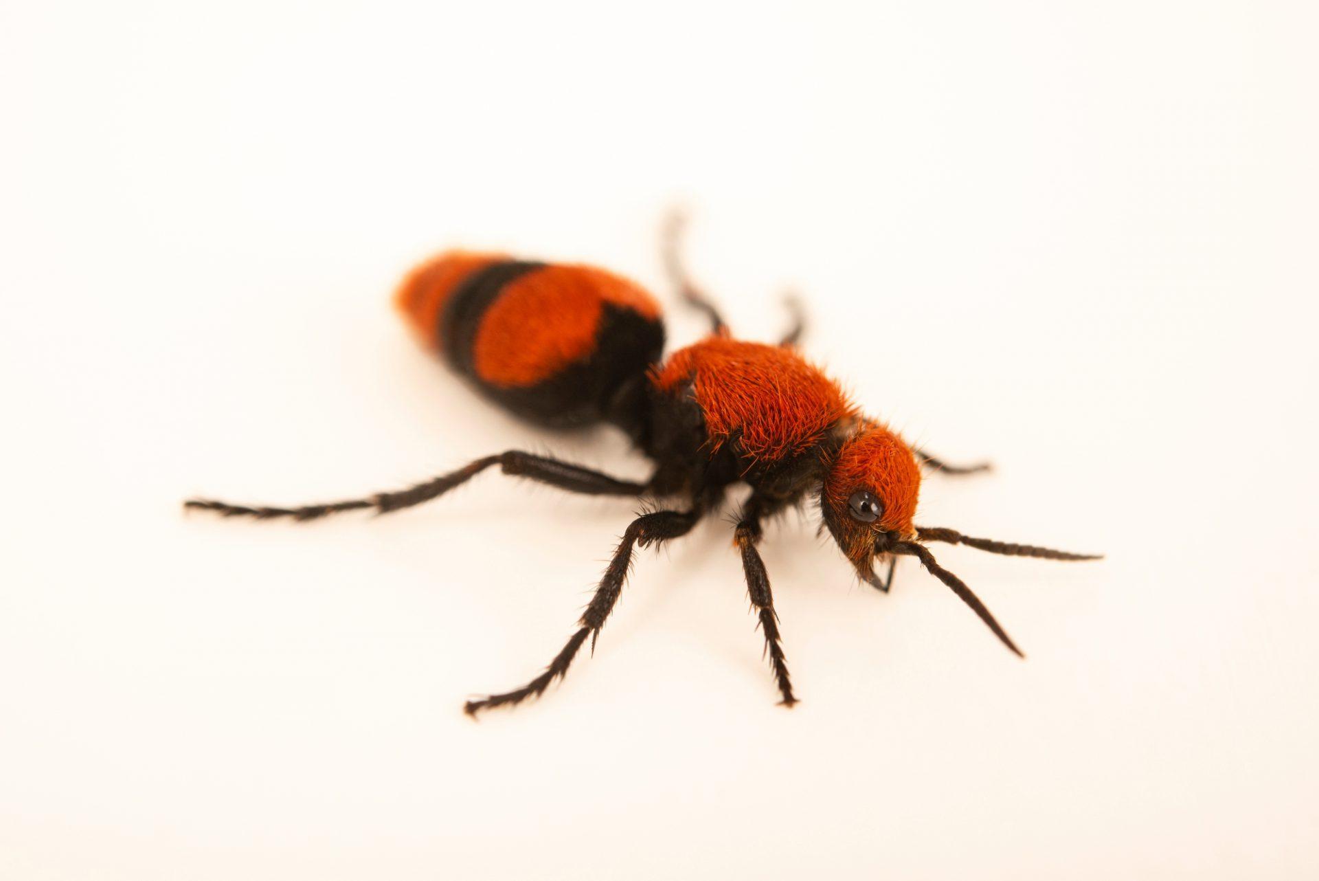 Photo: Velvet Ant, Family: Mutillidae sp., not yet described.