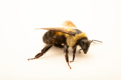 Photo: A brown-belted bumblebee (Bombus griseocolis) photographed at Spring Creek Prairie Audubon Center near Denton, NE. This bee was originally collected from Bobcat Prairie near Denton, NE.