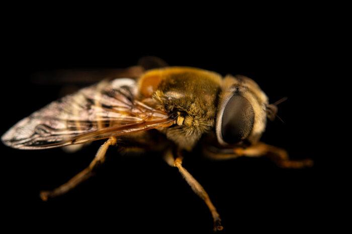 Photo: A hoverfly (Eristalis sp.) photographed at Spring Creek Prairie Audubon Center near Denton, NE. This fly was originally collected from Bobcat Prairie near Denton, NE.