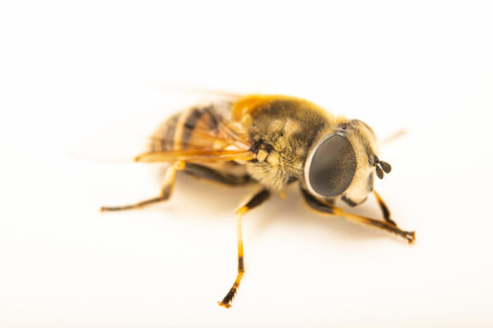 Photo: A hoverfly (Eristalis species) photographed at Spring Creek Prairie Audubon Center near Denton, NE. This fly was originally collected from Bobcat Prairie near Denton, NE.