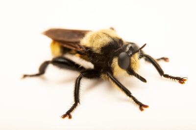 Photo: A bee-like robber fly (Laphria species) from the wild at Bobcat Prairie near Denton, NE. This robber fly mimics a bumblebee as a way to hunt other insects.