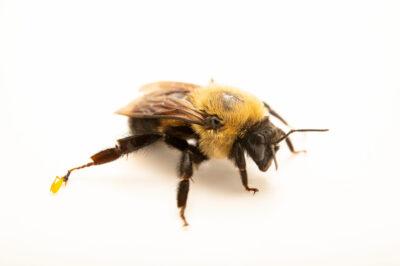 Photo: A brown-belted bumblebee (Bombus griseocollis), photographed at Spring Creek Prairie Audubon Center near Denton, NE. This bee was originally collected from Bobcat Prairie near Denton, NE.