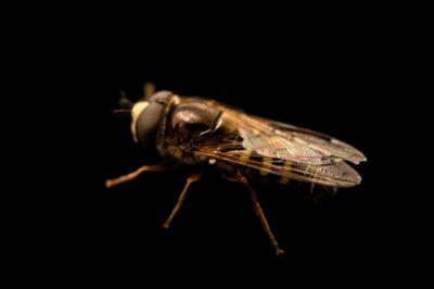 Photo: A hoverfly (Syrphus or Toxomerus species) photographed at Spring Creek Prairie Audubon Center near Denton, NE. This animal was originally collected from Bobcat Prairie near Denton, NE.