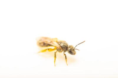 Photo: A southern bronze furrow bee (Halictus or Dialictus, confusus species) photographed at Spring Creek Prairie Audubon Center near Denton, NE. This bee was originally collected from Bobcat Prairie near Denton, NE.