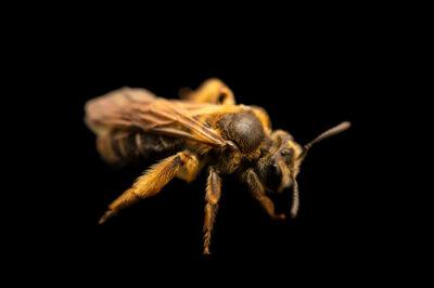 Photo: A mining bee (Andrena sp.) photographed at Spring Creek Prairie Audubon Center near Denton, NE. This animal was originally collected from Bobcat Prairie near Denton, NE.