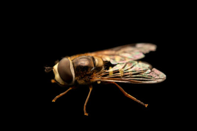 Photo: A hoverfly (Syrphus or Toxomerus sp.) photographed at Spring Creek Prairie Audubon Center near Denton, NE. This animal was originally collected from Bobcat Prairie near Denton, NE.