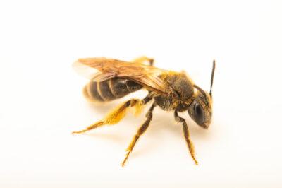 Photo: A mining bee (Andrena species) photographed at Spring Creek Prairie Audubon Center near Denton, NE. This animal was originally collected from Bobcat Prairie near Denton, NE.