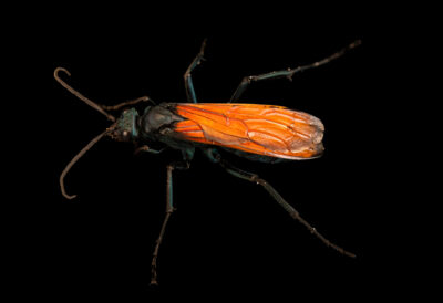 Photo: A tarantula hawk (Pepsis sp.) at the Audubon Insectarium, part of the Audubon Nature Institute.
