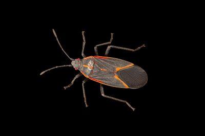A boxelder bug (Boisea trivittata).