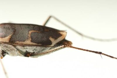 A federally endangered Salt Creek tiger beetle (Cicindela nevadica lincolniana) in a lab at the University of Nebraska-Lincoln. With a count of fewer than 250 adults in the summer of 2007, this subspecies of tiger beetle could be the rarest insect in North America. Found only in the interior saline wetlands of Lancaster County, Nebraska, the beetle has been in decline for years due to habitat loss from development.