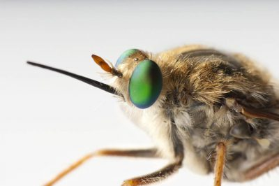 El Segundo flower-loving fly (Rhaphiomidas terminatus terminatus). This insect was thought to be extinct since the end of the 1960s but a small remnant population of less than 100 individuals was discovered in the early 2000s.