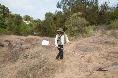 An entomologist scouts for El Segundo flower-loving fly (Rhaphiomidas terminatus terminatus). This insect was thought to be extinct since the end of the 1960s but a small remnant population of less than 100 individuals was discovered in the early 2000s.