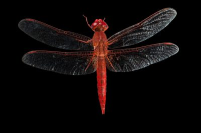 A broad scarlet dragonfly (Crocothemis erythraea) in Gorongosa National Park.