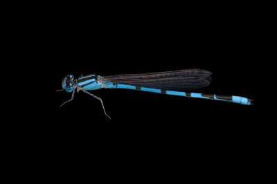 A familiar bluet (Enallagma civile) a damselfly from Dieken Prairie near Undadilla, Nebraska.