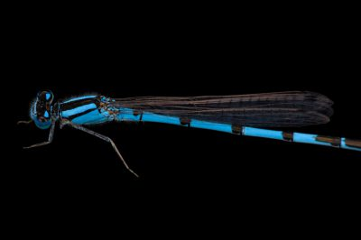 A familiar bluet (Enallagma civile) a damselfly from Dieken Prairie near Undadilla, Nebraska.