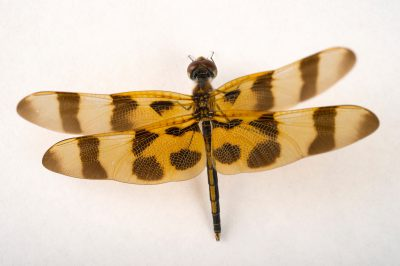 Picture of a halloween pennant dragonfly (Celithemis eponina) wild caught at Kissimmee Prairie Preserve State Park, Okeechobee, Florida.
