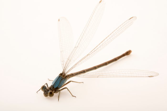Photo: Spotted spreadwing damselfly (Lestes congener) at Cedar Point Biological Station.