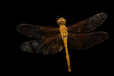 Photo: The Western Meadowhawk (Sympetrum occidentale) at Cedar Point Biological Station.