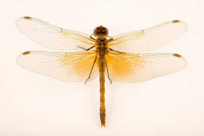 Photo: Western Meadowhawk dragonfly (Sympetrum occidentale) at Cedar Point Biological Station.