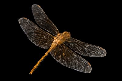 Photo: Skimmer dragonfly (Sympetrum occidentale) at Cedar Point Biological Station.