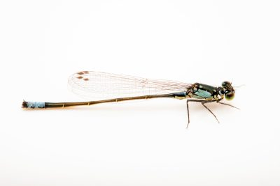 Photo: Pacific forktail damselfly (Ischnura cervula) at the Trinity Western University.