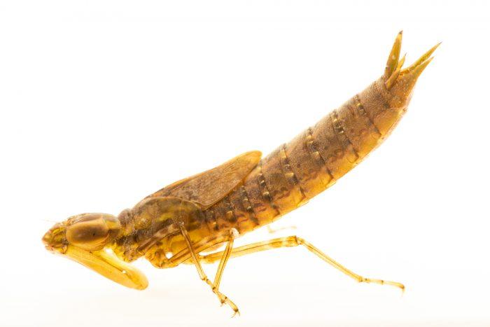 Photo: A common green darner larvae (Anax junius) at a pond near Valparaiso, Nebraska.