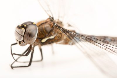 Photo: A California darner, Rhionaeschna californica, at A Rocha Brooksdale Environmental Center in Surrey, BC.