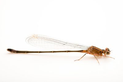 Photo: A Pacific forktail damselfly, Ischnura cervula, at A Rocha Brooksdale Environmental Center in Surrey, BC.