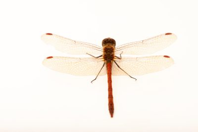Photo: Skimmer dragonfly (Sympetrum sp.) at Monticello Center in Italy.
