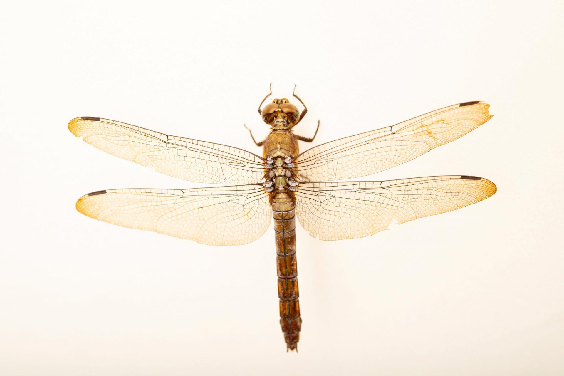 Photo: A female grasshawk dragonfly (Neurothemis fluctuans) wild caught in Jakarta, Indonesia.