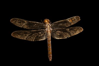 Photo: A female grasshawk dragonfly (Neurothemis fluctuans) wild caught in Jakarta, Indonesia.
