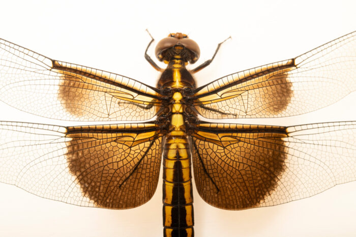 Photo: A twelve spotted skimmer dragonfly (Libellula pulchella) photographed at Spring Creek Prairie Audubon Center near Denton, NE. This animal was originally collected from Bobcat Prairie near Denton, NE.