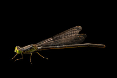 Photo: A unidentified damselfly at Spring Creek Prairie Audubon Center near Denton, NE.