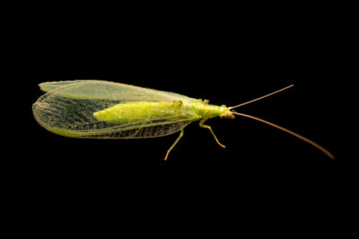 Photo: A green lacewing (Chrysopa species) collected at Spring Creek Prairie near Denton, NE.