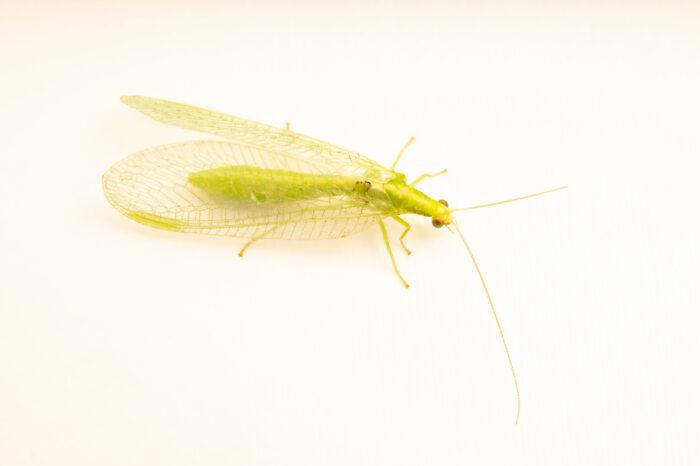 Photo: A green lacewing (Chrysopa species) collected at Spring Creek Prairie near Denton, NE.