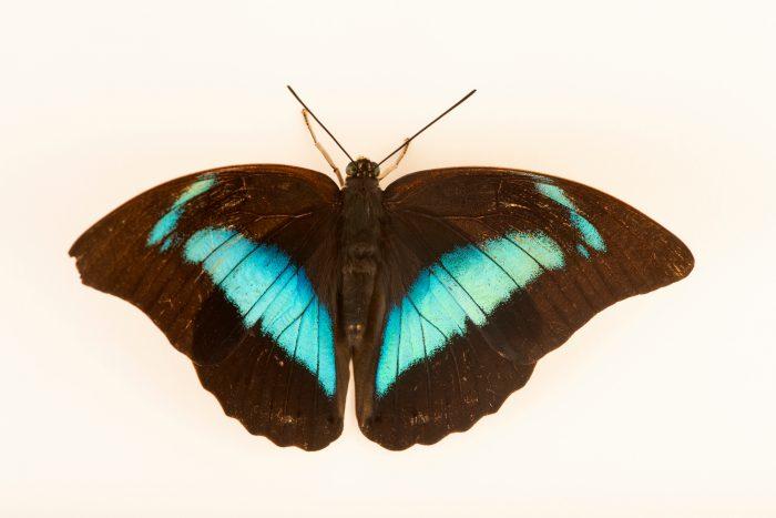 Photo: Blue king shoemaker (Prepona omphale) at Butterfly Pavilion.