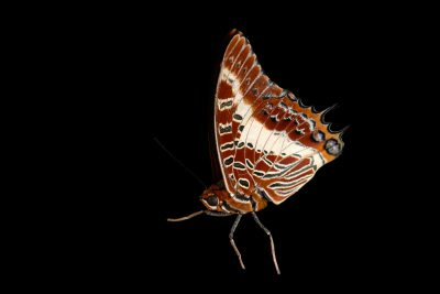 Photo: The white-barred emperor or white-barred Charaxes (Charaxes brutus) at Butterfly Pavilion.