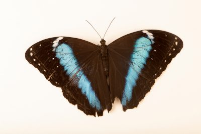 Photo: Blue banded morpho (Morpho achilles) at Butterfly Pavilion.