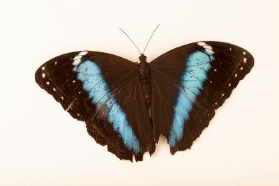 Photo: Blue banded morpho (Morpho achilles) at Butterfly Pavilion.