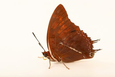 Photo: Silver-striped charaxes (Charaxes lasti) at Butterfly Pavilion.
