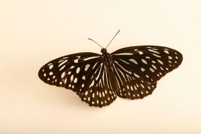 Photo: Dark blue tiger butterfly (Tirumala septentrionis) at Butterfly Pavilion.