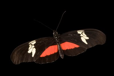 Photo: Large postman (Heliconius hortense) at Butterfly Pavilion.