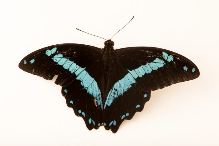 Photo: Narrow-banded blue swallowtail (Papilio nireus) at Butterfly Pavilion.