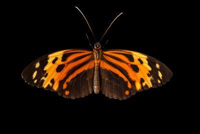 Photo: Common tiger glassywing (Tithorea harmonia) at Butterfly Pavilion.