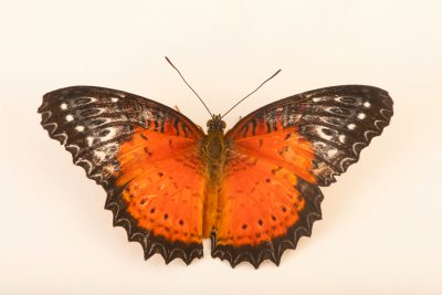 Photo: Red lacewing (Cethosia biblis) at Butterfly Pavilion.