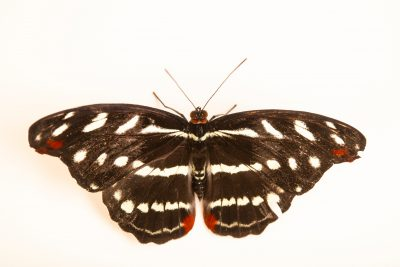 Photo: A female orange-banded shoemaker butterfly (Catonephele orites) at Butterfly Pavilion in Westminster, Colorado.