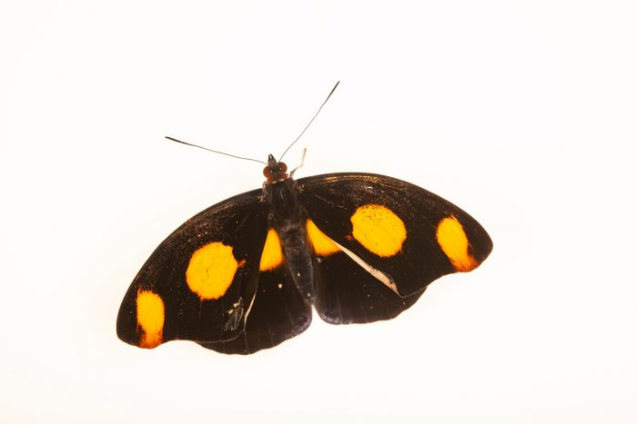 Photo: Grecian shoemaker (Catonephele numilia) at Butterfly Pavilion in Westminster, Colorado.