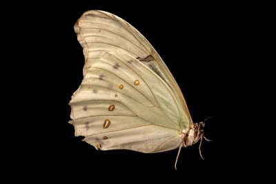 Photo: White morpho butterfly (Morpho polyphemus) at Butterfly Pavilion in Westminster, Colorado.