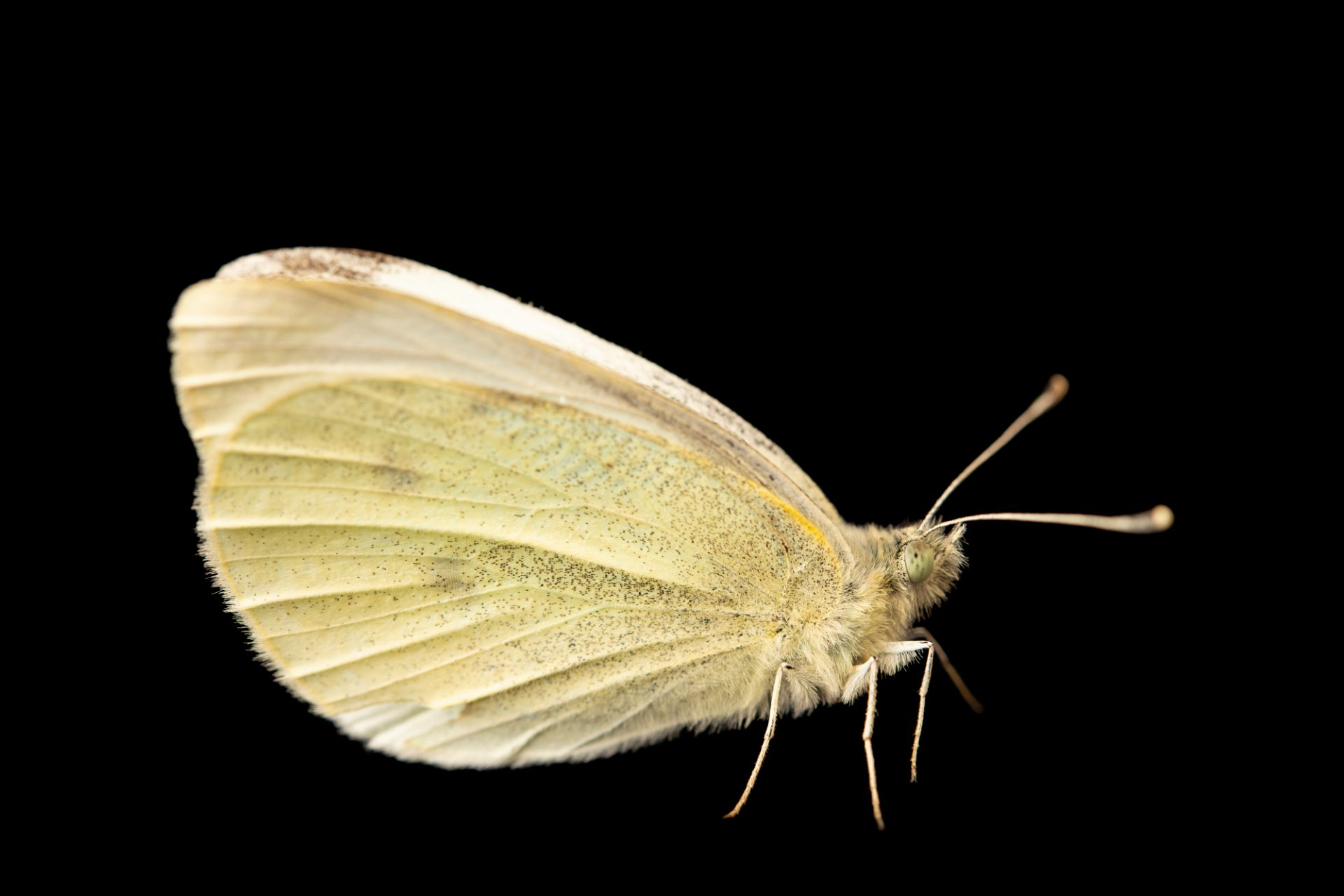 Photo: Small white butterfly (Pieris rapae) at Graham's Quinta dos Malvedos Vineyard.